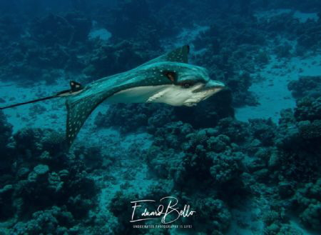 Always beautiful, the eagle ray. House ray lives on this ... by Eduard Bello