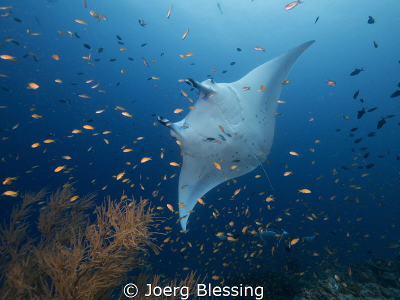 Anthias and Manta by Joerg Blessing
