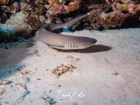 Baby white tip shark by Eduard Bello