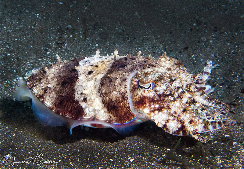 Needle Cuttlefish/Photographed with a Canon 60 mm macro l... by Laurie Slawson