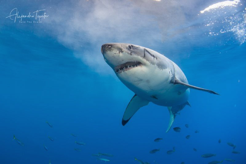 White Shark seven, Isla Guadalupe México by Alejandro Topete