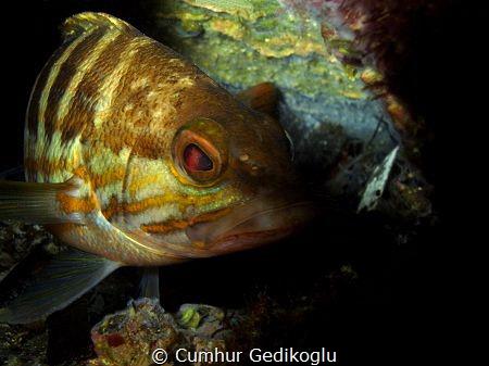 Serranus cabrilla by Cumhur Gedikoglu