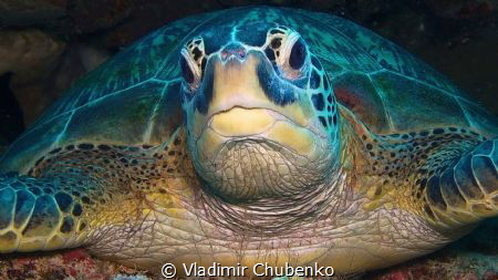 Sleeping turtle by Vladimir Chubenko