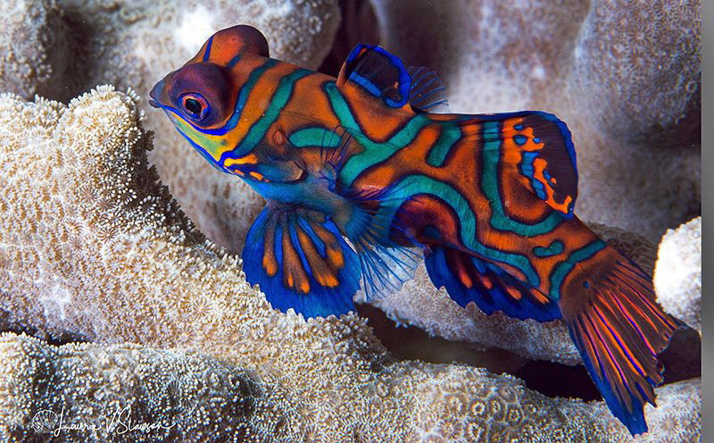 Mandarinfish/Photographed with a Canon 60 mm macro lens a... by Laurie Slawson