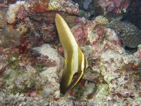 Pinnate Batfish pre-adult - Platax pinnatus by Hansruedi Wuersten