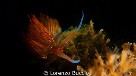 Dondice Banyulensis by Lorenzo Buccio