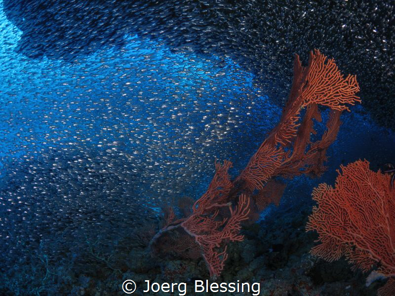 I love to get lost in clouds of pulsing baitfish by Joerg Blessing