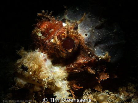 Scorpionfish close up with snoot by Tim Steenssens