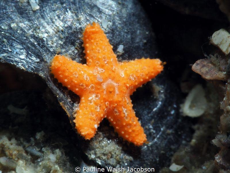 Juvenile Cushion Sea Star, less than 1 inch, Blue Heron B... by Pauline Walsh Jacobson