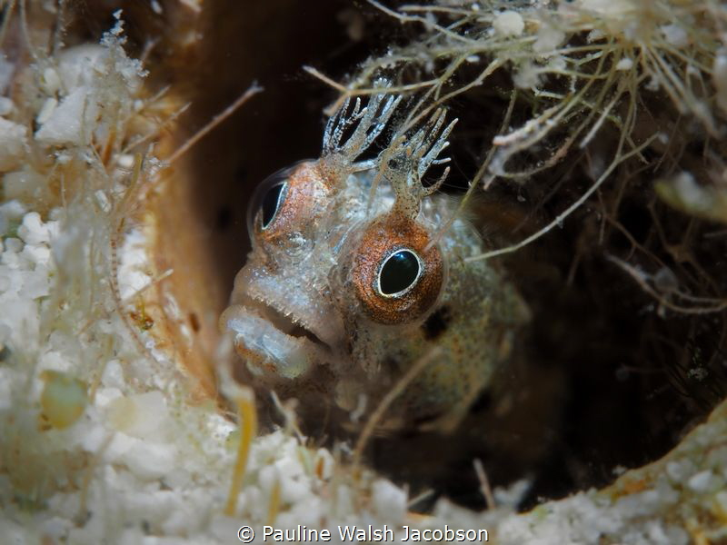Roughhead Blenny, Lovango Cay, U.S. Virgin Islands by Pauline Walsh Jacobson