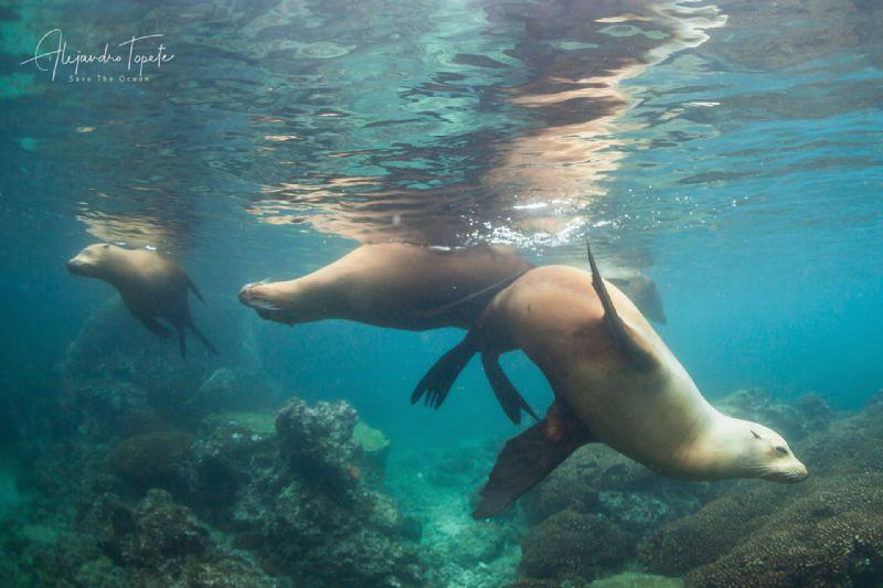 Sea Lions in the shallows, san Rafaelito, La Paz, Mexico by Alejandro Topete