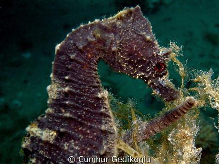 Hippocampus guttulatus by Cumhur Gedikoglu