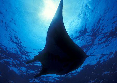 Manta Ray, San Benedicto Island (Nikon F4, 18mm/3.5, Aqua... by Andrew Dawson