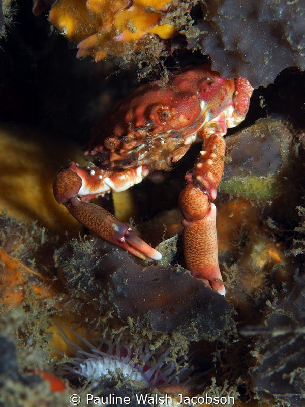 Red-Ridged Clinging Crab, Blue Heron Bridge, Florida by Pauline Walsh Jacobson