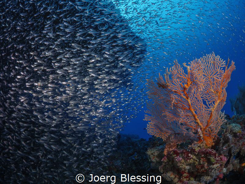Baitfish and Seafan scenery! by Joerg Blessing