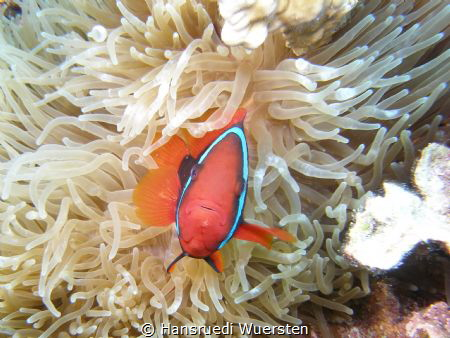 Tomato Anemonefish - Amphiprion frenatus by Hansruedi Wuersten