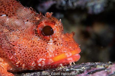 Madeira rockfish by Rune Edvin Haldorsen