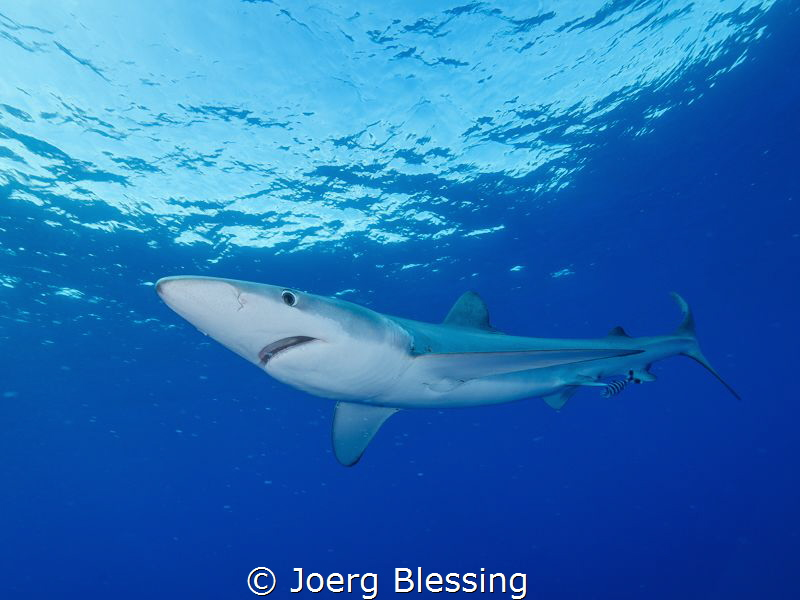 Blue shark off Faial, Azores. 100 nautical miles away fro... by Joerg Blessing