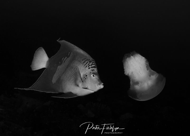 Angelfish eating jellyfish by Pieter Firlefyn