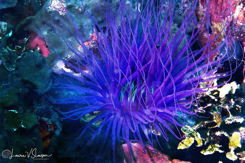 Blue Anemone/Photographed with a Canon 60 mm macro lens a... by Laurie Slawson