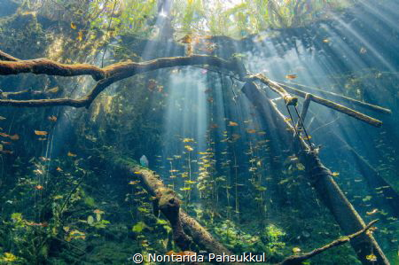 The cenote Aktun Ha or car wash, one of the best Cenote y... by Nontarida Pahsukkul