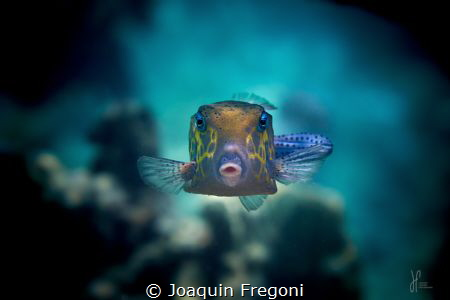 Eye contact with this old yellow boxfish by Joaquin Fregoni