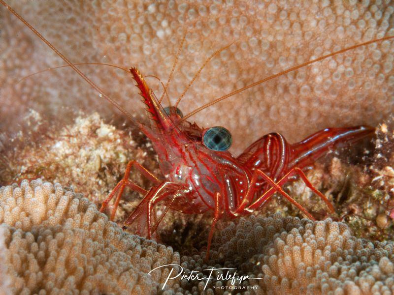 Hinge-beak shrimp by Pieter Firlefyn