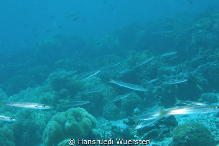 Yellowtail Barracuda - Sphyraena flavicauda on the reef by Hansruedi Wuersten