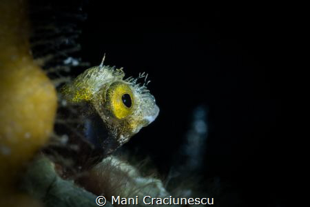 Tiny Roughhead Blenny Bonaire by Mani Craciunescu