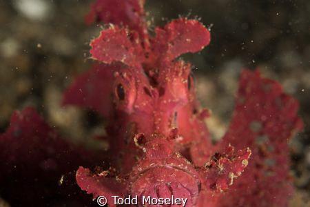 Paddleflap Scorpionfish by Todd Moseley