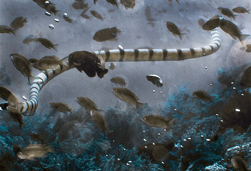 Yellow-banded sea krait and natural air bubbles from the ... by Laurie Slawson
