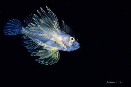 Larval lionfish by Julian Hsu