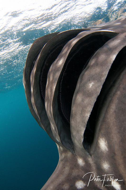 Whaleshark in the gulf of Tadjoura Djibouti by Pieter Firlefyn