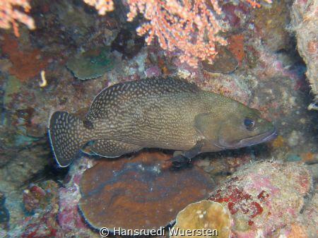 Palemargin Grouper - Epinephelus bontoides by Hansruedi Wuersten