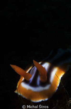 Chromodoris sp., nudibranchia by Michal Štros