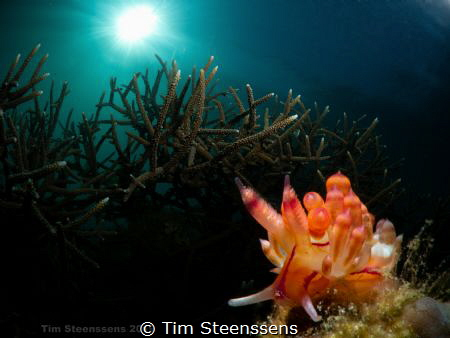 Nudibranch at the reef by Tim Steenssens