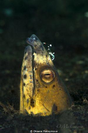 Highfin snake eel (Ophichthus altipennis) by Oksana Maksymova