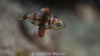 Juvenile of Diplodus sp. (vulgaris?). note the fins struc... by Lorenzo Buccio
