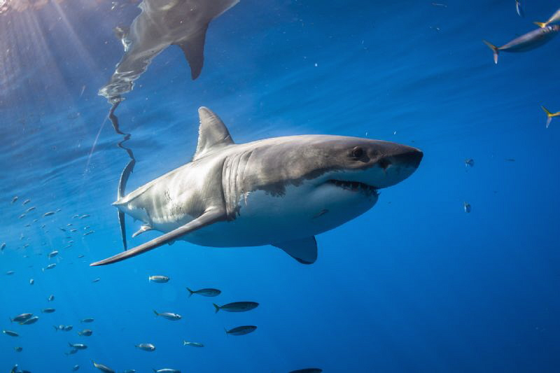 White Shark in the surface, Isla Guadalupe México by Alejandro Topete