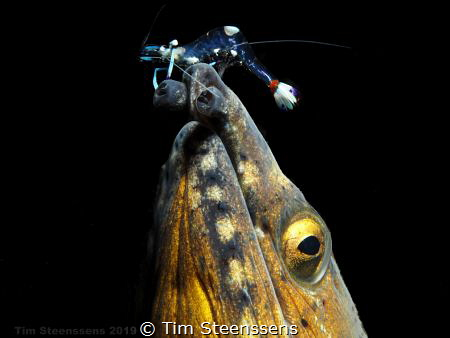 Blackfinned Snake Eel with Cleaner Shrimp by Tim Steenssens