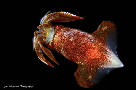 Squid taken during black water dive. by Iyad Suleyman