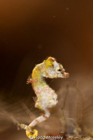 Pontoh's Pygmy Seahorse by Todd Moseley