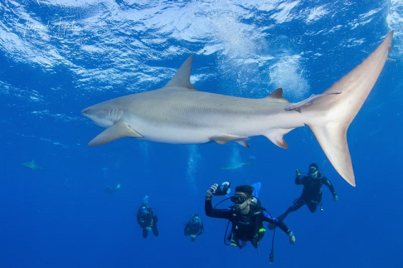 Shark with Divers, Gardens of the Queen Cuba by Alejandro Topete