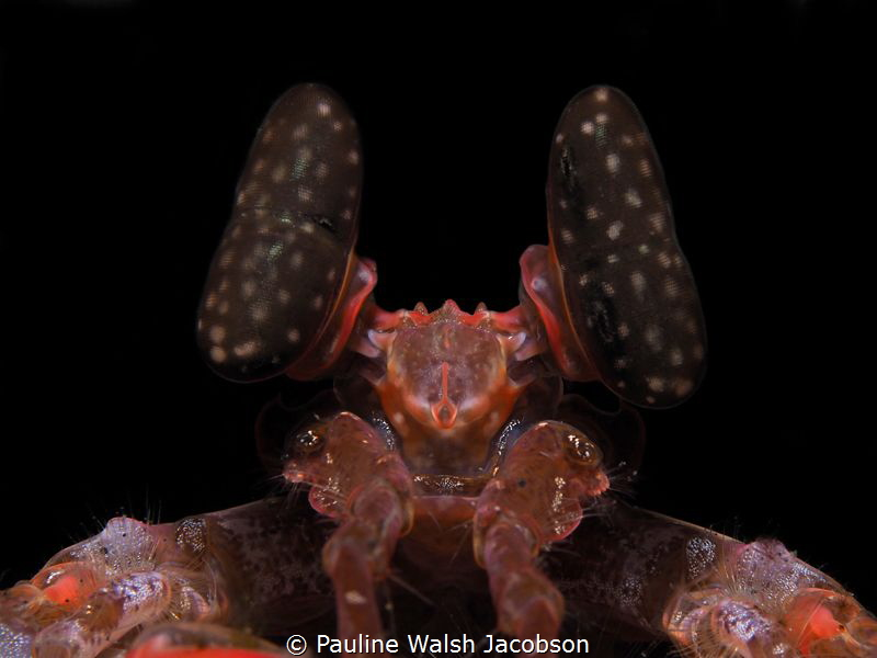 Spearing Mantis, Lysiosquillina lisa, Lembeh (background ... by Pauline Walsh Jacobson
