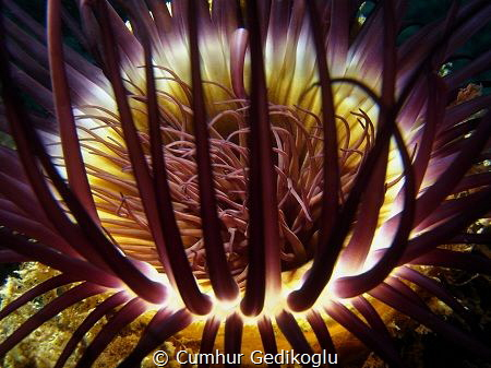 Cerianthus membranaceus by Cumhur Gedikoglu