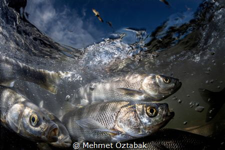 pearl mullet fishes 2019
