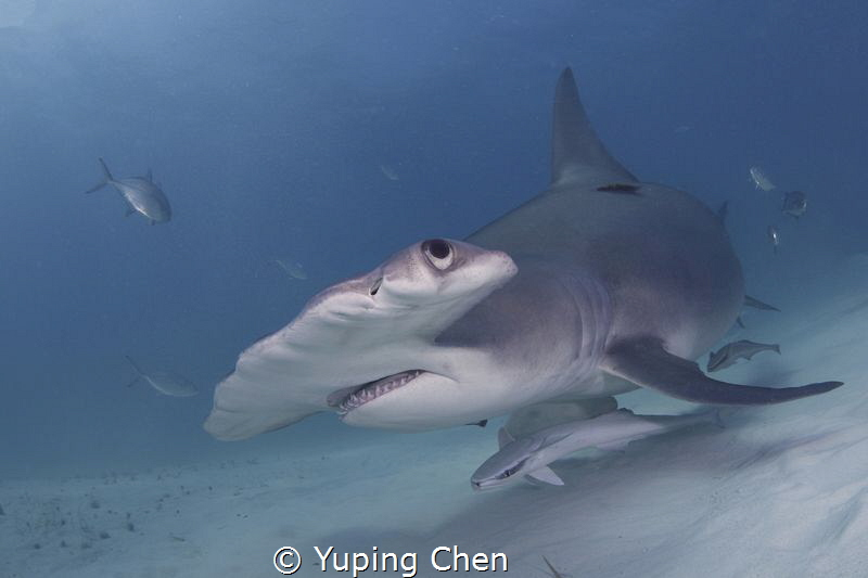 Hammerhead Shark by Yuping Chen