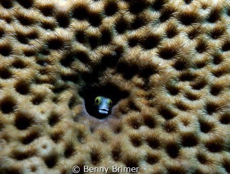Jawfish in coral by Benny Brimer