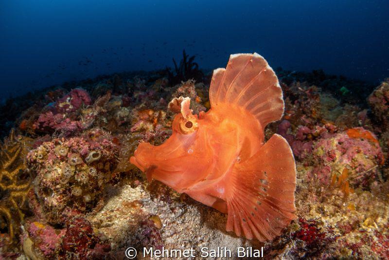 Rhinopias eschmeyeri.  Nikkor 60 mm + Nauticam MWL-1. by Mehmet Salih Bilal