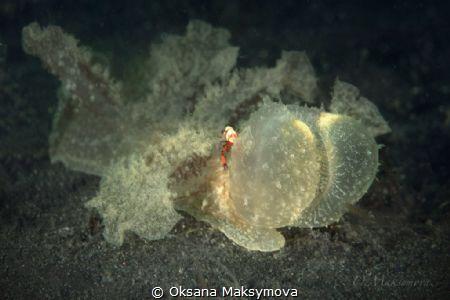 Melibe viridis with  the Imperator shrimp(Zenopontonia rex) by Oksana Maksymova